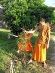 Planting tea trees